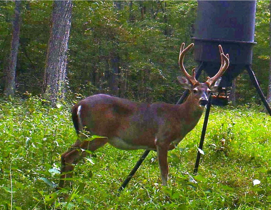 Improve Deer Antler Size with Mineral Attractant